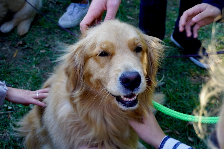 People petting a golden retriever
