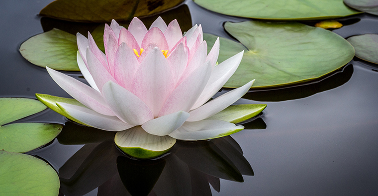 A lotus blossom on still water