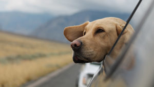 Dog sticking its head out the window