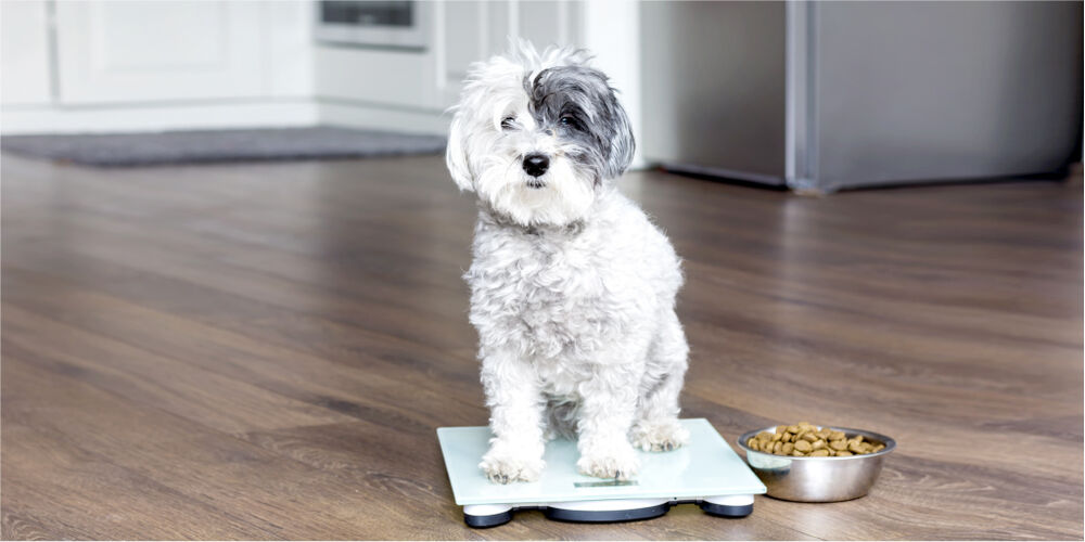 Small dog sitting on a digital scale next to a bowl of dog food